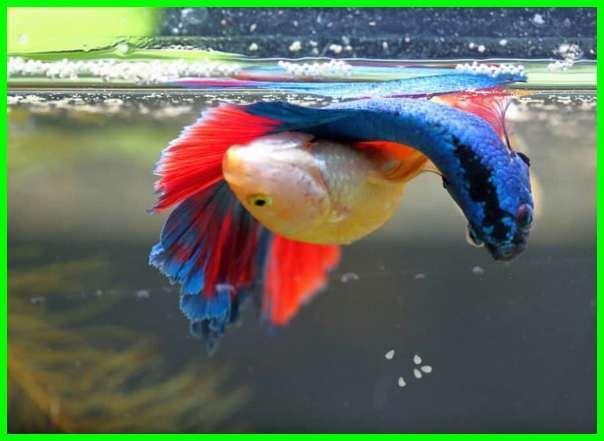 cara ikan cupang bertelur, cara ikan cupang berkembang biak, cara ikan cupang cepat bertelur, cara ikan cupang menikah, cara ikan cupang agar cepat bertelur, cara mengawinkan ikan cupang agar berhasil, cara mengawinkan ikan cupang agar cepat bertelur, cara ikan cupang betina full telur, cara ikan cupang betina bertelur, cara ikan cupang bagus, bagaimana cara ikan cupang bertelur, cara membuat ikan cupang cepat besar, cara ternak ikan cupang.com, cara ikan cupang bertelur dan menetas, proses perkembangbiakan ikan cupang