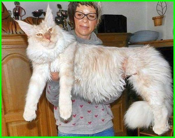 kucing maine coon asli, kucing maine coon berasal dari, kucing maine coon ciri ciri, kucing maine coon cantik, kucing maine coon dan ciri ciri, foto kucing maine coon, fakta kucing maine coon, foto kucing maine coon terbesar, forum kucing maine coon, ciri fisik kucing maine coon, foto gambar kucing maine coon, kucing mainecoon, kucing maine coon indonesia, sifat kucing maine coon jantan, kelebihan kucing maine coon