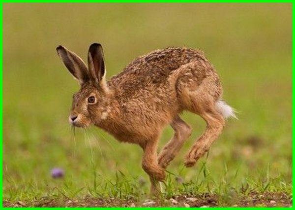 terwelu, hare, kelinci liar