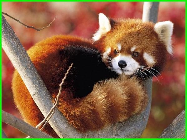 hewan hewan lucu di dunia, binatang lucu di dunia, hewan di dunia lucu, hewan lucu seluruh dunia, hewan lucu dan aneh, dp hewan lucu, hewan ter lucu di dunia, hewan yang lucu di dunia