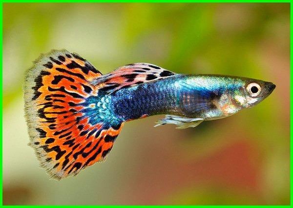 ikan guppy bahasa inggris, gambar hewan dalam bahasa inggris beserta artinya