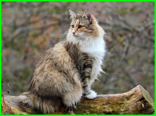 kucing norwegian forest terbesar, adopsi kucing norwegian forest, breeder kucing norwegian forest, ciri kucing norwegian forest, jenis kucing norwegian forest, gambar kucing norwegian forest, karakter kucing norwegian forest, ciri ciri kucing norwegian forest, kucing ras norwegian forest, sifat kucing norwegian forest, tentang kucing norwegian forest, kucing norwegian