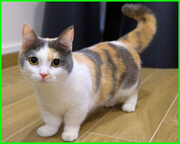 kucing cebol munchkin, tentang kucing munchkin, foto kucing munchkin, fakta kucing munchkin, gambar kucing munchkin, jenis kucing munchkin harga, kucing jenis munchkin, kucing munchkin kecil, kucing munchkin lucu, harga kucing munchkin anakan