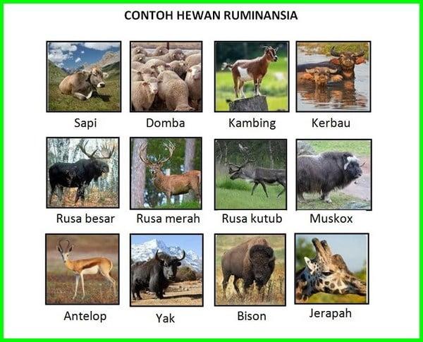 apa contoh hewan ruminansia, sebutkan contoh hewan ruminansia, sebutkan contoh hewan ruminansia brainly, sebutkan tiga contoh hewan ruminansia, sebutkan empat contoh hewan ruminansia, sebutkan 5 contoh hewan ruminansia, sebutkan beberapa contoh hewan ruminansia, apa saja contoh hewan ruminansia, 2 contoh hewan ruminansia, contoh hewan ruminansia yaitu, contoh hewan ruminansia adalah