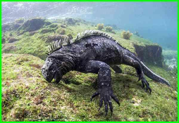 makanan iguana laut, pulau iguana laut, iguana raksasa, iguana terbesar, iguana laut raksasa, iguana laut berasal dari, klasifikasi iguana laut, iguana laut galapagos, iguana jenis, iguana adalah, foto iguana laut, lokasi iguana laut