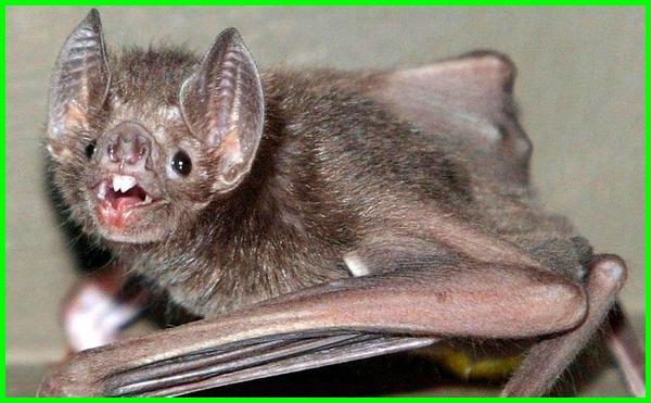 kelelawar vampire, kelelawar vampir umum, gambar kelelawar vampir, gambar kelelawar vampire, spesies kelelawar vampir, wallpaper kelelawar vampir, kelelawar vampir adalah, vampir dengan kelelawar