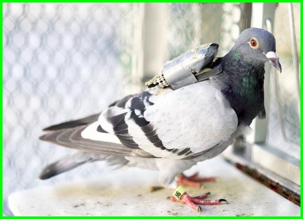 manfaat burung merpati bagi manusia, manfaat burung merpati bagi manusia dan lingkungan, manfaat burung merpati bagi lingkungan, manfaat burung merpati bagi manusia adalah, manfaat burung merpati untuk lingkungan, manfaat burung merpati sebagai alat komunikasi, manfaat burung merpati untuk manusia adalah