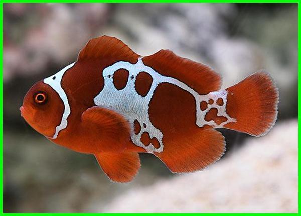 ikan hias air laut termahal, ikan hias air laut anemone, ikan hias air asin laut, gambar ikan hias air laut cantik, apa saja jenis ikan hias termahal, nama ikan termahal, berapa ikan termahal di dunia, berapa harga ikan termahal