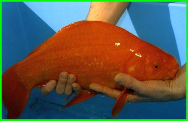 ikan mas koki paling besar, ikan koki terbesar, ikan koki terbesar di dunia, ikan mas koki terbesar, ikan koki besar, ikan mas koki terbesar di dunia, ikan koki biasa, ikan koki ikan koki, ikan koki raksasa, ikan koki bagus, ikan koki terbagus