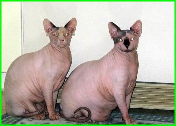 jenis kucing yang gemuk, jenis kucing yang berbadan besar, jenis kucing gemuk, jenis kucing gendut, jenis kucing yang bisa besar, jenis kucing badan besar, jenis kucing yang bisa gendut, jenis kucing gendut lucu, jenis kucing yang gemuk, jenis kucing yang berbadan besar