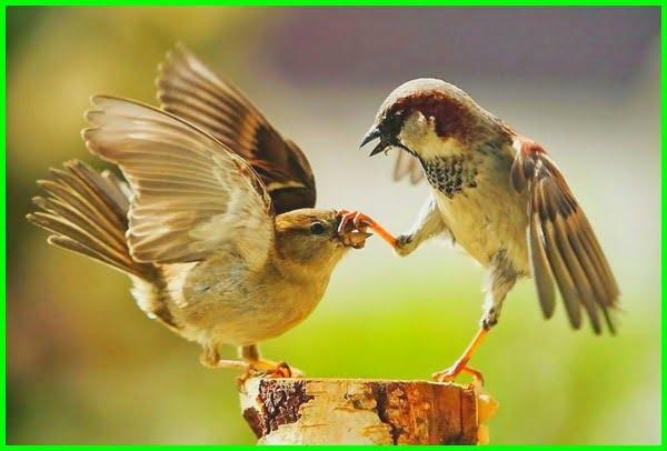 burung gereja, burung gereja tarung, foto burung gereja, burung gereja makan apa, burung gereja makan voer, burung gereja bersarang di rumah, www.burung gereja, makanan burung gereja