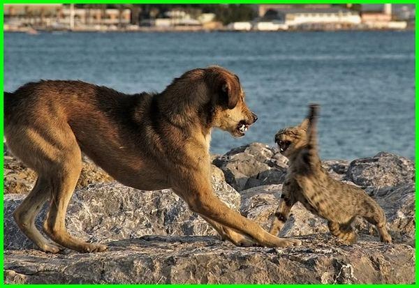 kenapa anjing dan kucing bermusuhan, kenapa anjing sama kucing bermusuhan, kenapa kucing bermusuhan dengan anjing, kenapa anjing dan kucing suka berantem, penyebab anjing dan kucing bermusuhan, anjing dan kucing bertengkar, kenapa anjing dan kucing selalu bertengkar, mengapa anjing dan kucing bermusuhan, kenapa anjing kucing bermusuhan