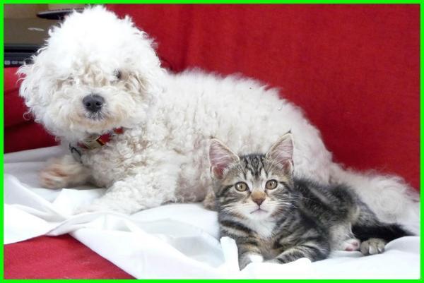 anjing-yang-bersahabat-dengan-kucing, anjing kucing akur, anjing dan kucing akur, kucing dan anjing akur, apakah anjing dan kucing bisa akur, apakah anjing dan kucing dapat akur, kenapa anjing dan kucing tidak akur