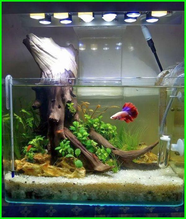 ikan cupang dalam akuarium, cara membuat aquarium mini untuk ikan cupang, ikan cupang satu aquarium, ikan cupang dalam 1 aquarium, aquarium ikan cupang keren