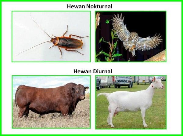 hewan nokturnal dan diurnal, hewan nokturnal dan diurnal pdf, jenis hewan nokturnal dan diurnal, hewan nokturnal diurnal, apa yang dimaksud dengan hewan nokturnal dan diurnal, hewan nokturnal dan diurnal adalah, nokturnal dan diurnal, hewan nokturnal dan contohnya, perbedaan nokturnal dan diurnal