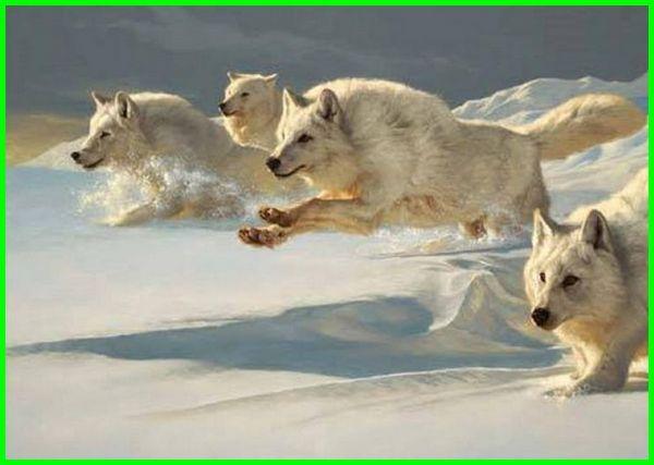 mimpi serigala, mimpi dikejar serigala, mimpi melihat serigala, mimpi digigit serigala, arti mimpi serigala, tafsir mimpi serigala, mimpi membunuh serigala, mimpi melihat serigala banyak, mimpi naik serigala, mimpi memelihara serigala, mimpi manusia serigala, mimpi melihat anak serigala