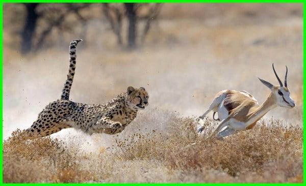 hewan tercepat di dunia, binatang larinya cepat, hewan tercepat di darat, hewan lari tercepat di dunia, hewan darat tercepat di dunia, hewan yang larinya cepat