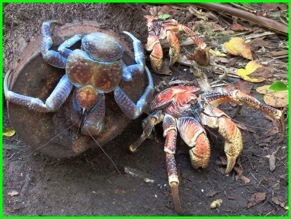 kepiting terbesar di dunia, kepiting bakau terbesar, kepiting raksasa di dunia, kepiting paling besar di dunia, kepiting paling besar, kepiting bakau terbesar di dunia, kepiting yang paling besar, kepiting yang terbesar di dunia, kepiting kenari terbesar