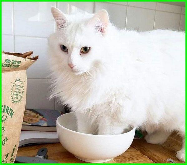 makanan kucing anggora, apa makanan kucing anggora, makanan kucing anggora biar cepat gemuk, makanan kucing anggora agar bulu lebat, nama makanan kucing anggora, kf makanan kucing, makanan kucing anggora yang bagus, makanan untuk kucing anggora kecil, makanan kucing anggora alami, makanan yang cocok untuk kucing anggora, makanan kucing campuran anggora dan kampung, makanan kucing anggora dewasa