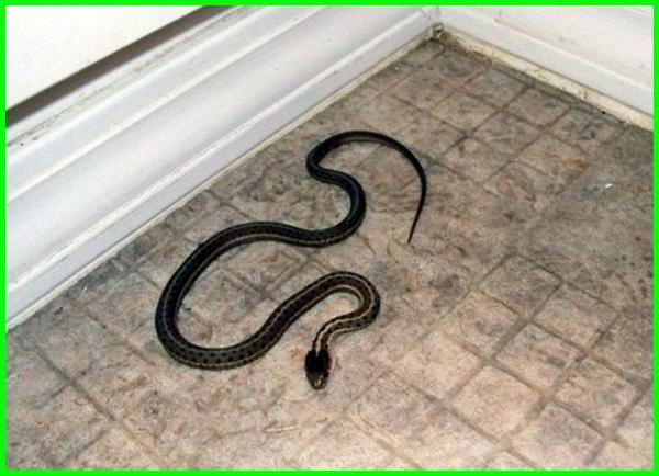 ular masuk rumah pertanda apa, ular yang sering masuk rumah, apa arti ular masuk rumah, firasat ular masuk rumah, ular masuk rumah waktu maghrib, mimpi ada ular masuk rumah, apa pertanda ular masuk rumah, ular masuk rumah 4d, firasat ular masuk rumah malam hari, ular masuk rumah