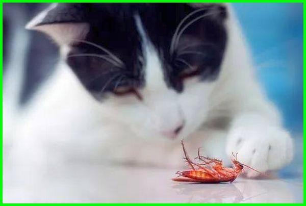 kucing makan kecoa, efek kucing makan kecoa, akibat kucing makan kecoa, kucing makan kecoa bahaya kah, kucing makan kecoa bahayakah, apa yang terjadi jika kucing makan kecoa, cara mengobati kucing makan kecoa, menangani kucing yang makan kecoa, berbahayakah kucing makan kecoa, obat kucing makan kecoa, kucing persia makan kecoa kucing main kecoa, efek kucing makan kecoak