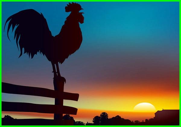 ayam berkokok tengah malam, ayam berkokok malam hari, ayam berkokok di malam hari, arti ayam berkokok tengah malam, ayam berkokok ditengah malam, ayam berkokok di tengah malam, suara ayam berkokok tengah malam, tanda ayam berkokok tengah malam, ayam berkokok tengah malam artinya, rahasia ayam berkokok tengah malam, apa arti ayam berkokok tengah malam, tanda ayam berkokok malam hari