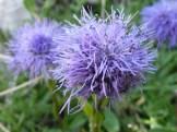 Globularia trichosantha