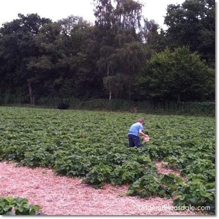 boy picking strawberried
