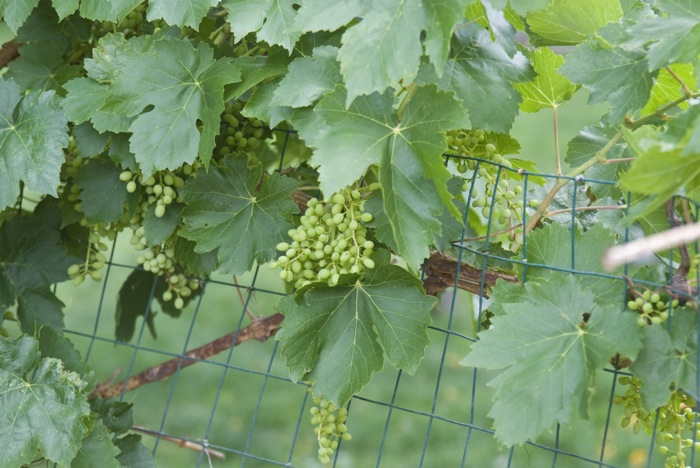 grapes_growing
