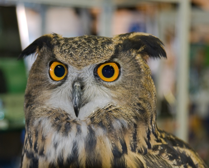 Owl Front View