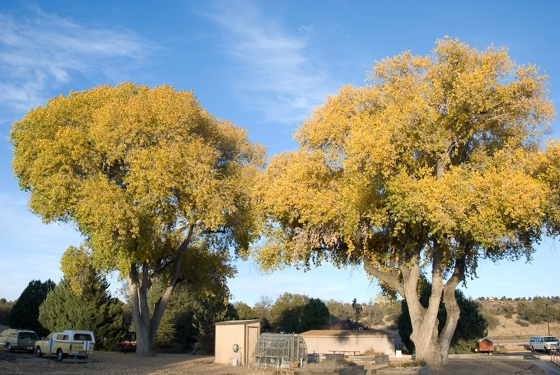 yellow sycamore trees