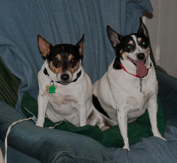 Two Rat Terriers