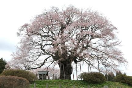 ジェラート醍醐桜の「醍醐桜」とは