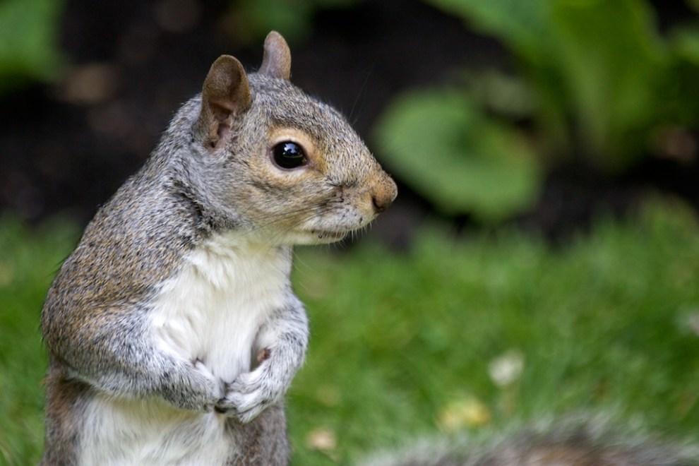 Hyde Park Squirrel