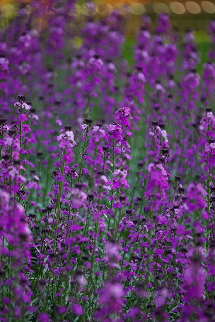 Purple in Hyde Park