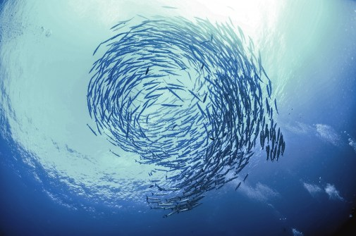 A school of fish, visible from below, in the ocean.