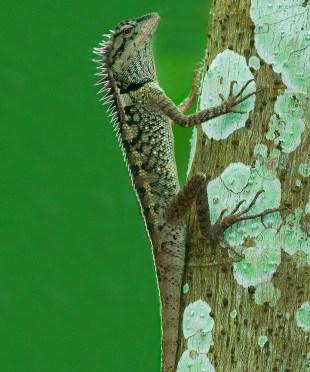Emma's Gray forest lizard