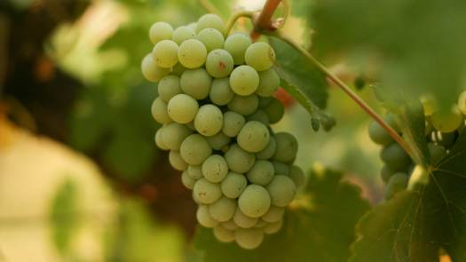 Image result for chenin blanc grape