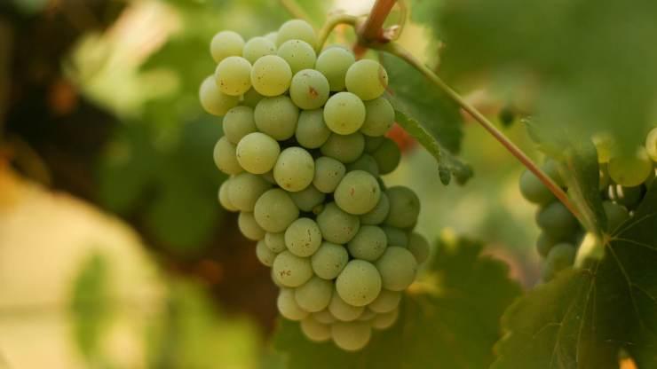 Image result for chenin blanc grape