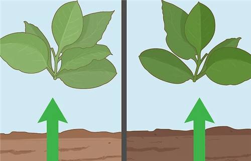Soil and climatic conditions for growing tobacco