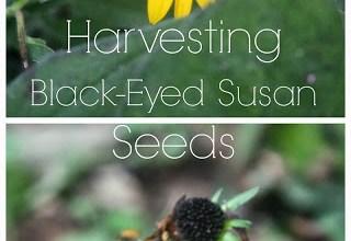 How to Harvest Black-Eyed Susan Seeds 11