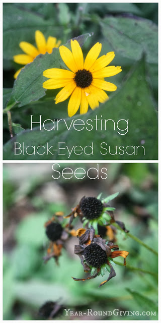 How to Harvest Black Eyed Susan Seeds
