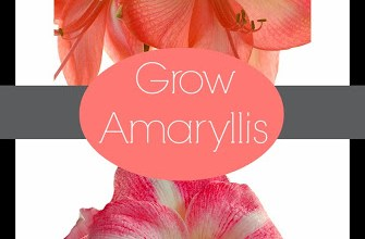 How to Grow Amaryllis 1