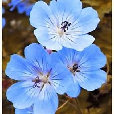 Grow a Blue Garden: Geranium Rozanne