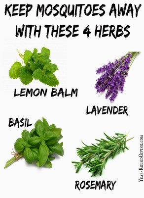 Herbs that keep Mosquitoes Away 3