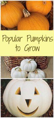 Popular Pumpkins to Grow 3