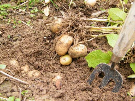digging-for-potatoes-1319302-640x480