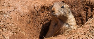 A prairie dog peeks from its hole (Photo: Shutterstock/ Wollertz)