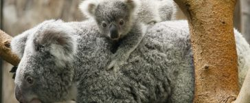 Reuters/ A koala joey hangs on its mother Goonderrah, the Aboriginal name for fighter, following a weighing procedure at the zoo in the western German city of Duisburg June 11, 2010. The 215 day-old koala baby, weighing 528 grams, has yet to be named. REUTERS/Wolfgang Rattay (GERMANY - Tags: ANIMALS IMAGES OF THE DAY) - RTR2F0LX