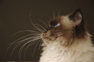 cat-whiskers-2